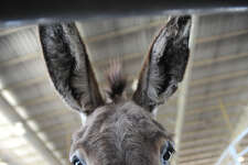 A burro peeks under the railing at the Wild Horse and Burro Auction at Ford Park on Friday. Along with wild mustangs, the animals are iconic symbols of America's western heritage. Photo taken Friday, May 4, 2012 Guiseppe Barranco/The Enterprise