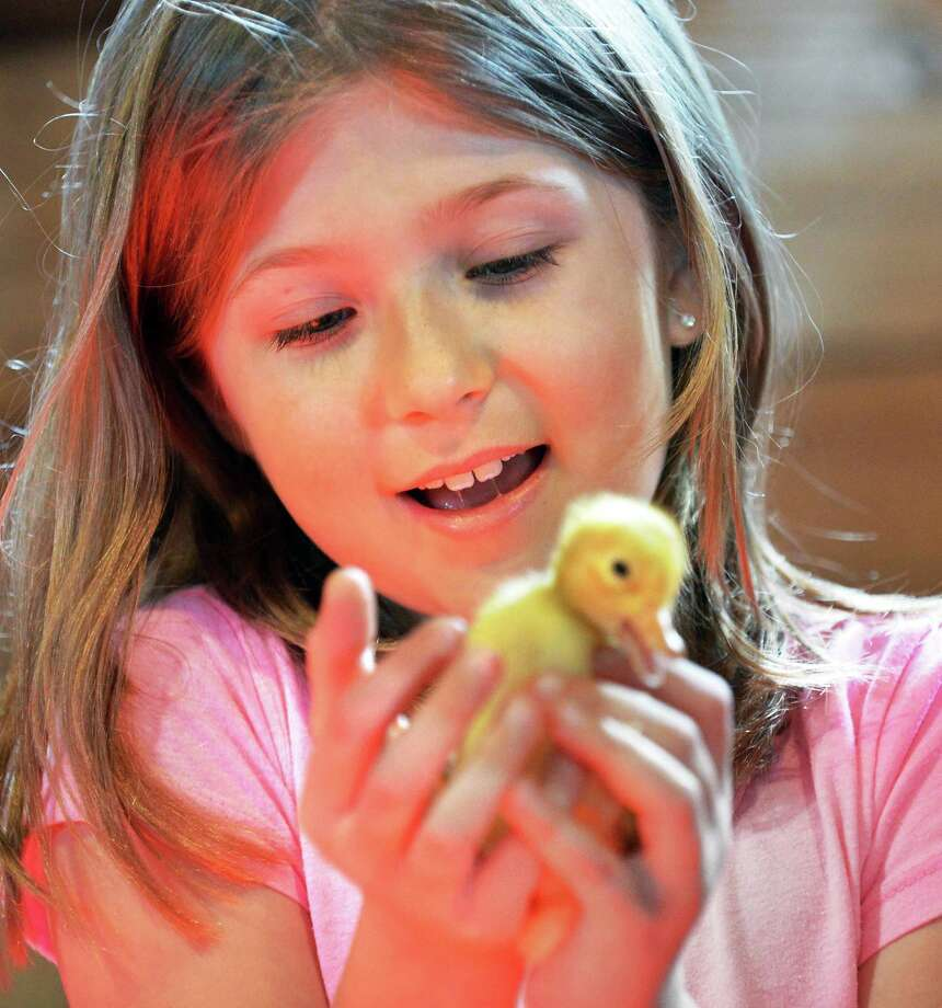 Julia Campbell, 8, of Schenectady holds a duckling in the Baby Animal Barn at Indian Ladder Farms in Altamont during the 17th annual Baby Animal Days, Saturday May 5, 2012.  The event runs from 9 a.m. to 5 p.m. through May 20. (John Carl D'Annibale / Times Union) Photo: John Carl D'Annibale / 00017375A