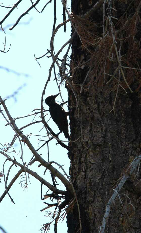 A rare black-backed woodpecker forages in the burned remains of the Angora Fire near South Lake Tahoe, Calif. Photo: Rich Pedroncelli / AP2010
