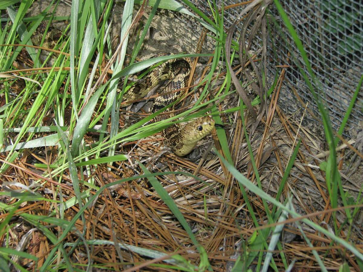The list of rare, threatened or endangered snakes in Texas includes theLouisiana pine snake.