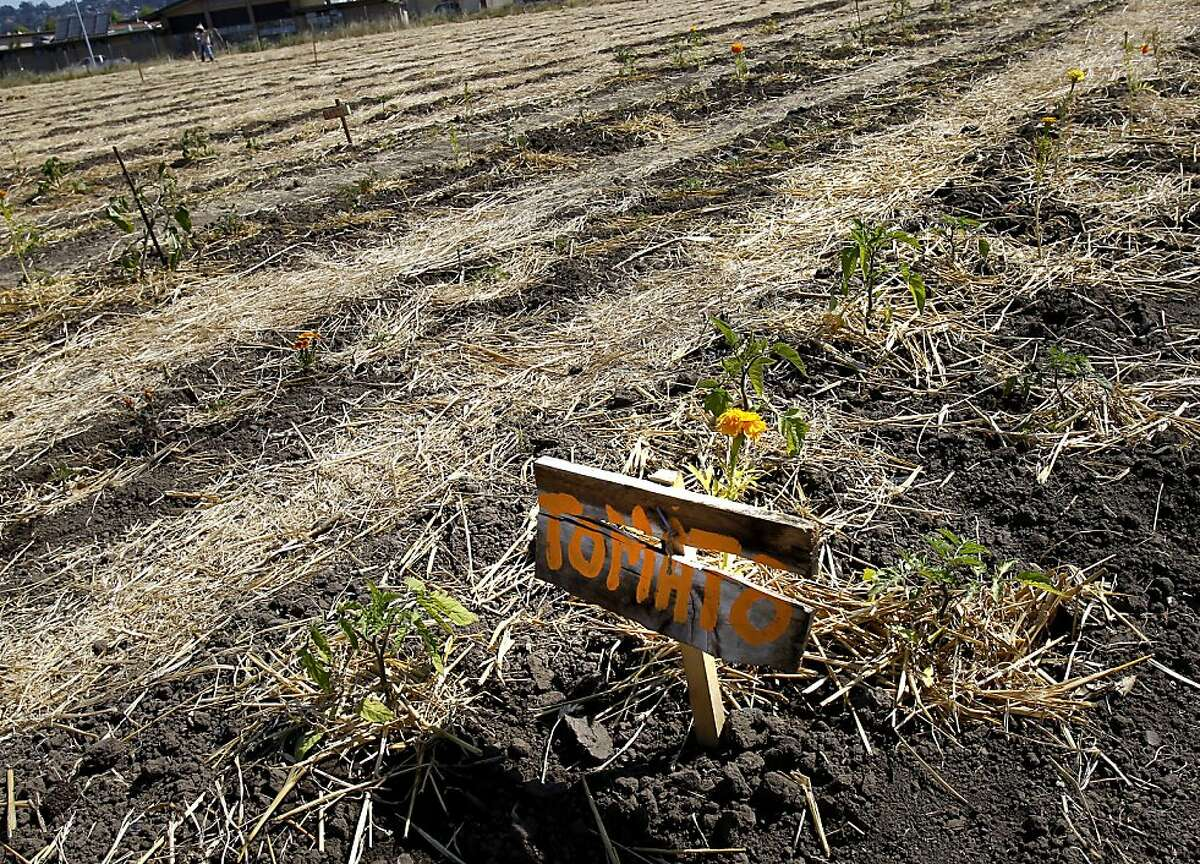 Rows of vegetables have been planted on almost two acres. Despite rumors of a crackdown on the garden planted by Occupy forces at UC's experimental garden facility in Albany, Calif., farming went on although the water is still shut off.