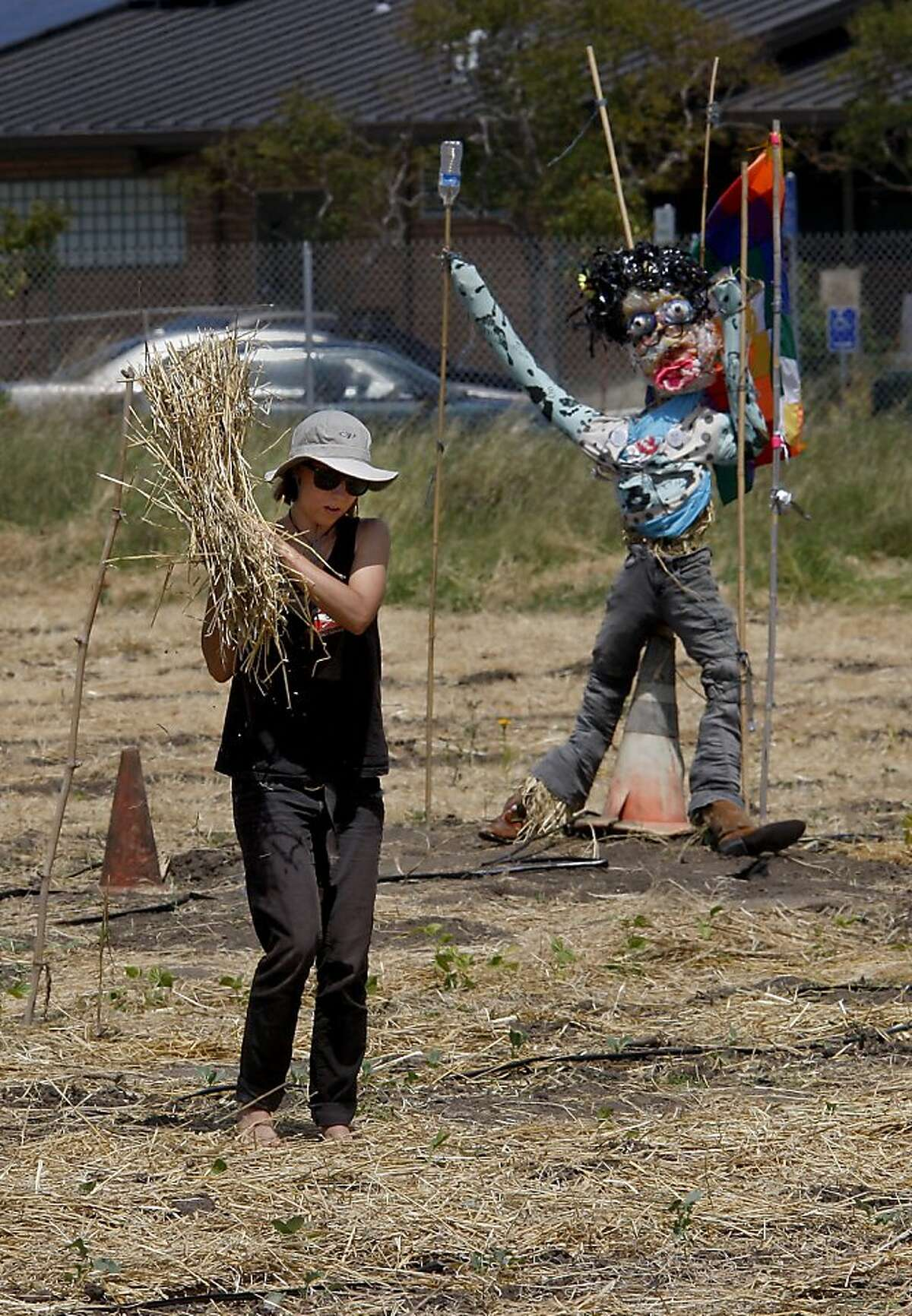 Hay is being spread around the vegetables as a mulch as water is precious. Despite rumors of a crackdown on the garden planted by Occupy forces at UC's experimental garden facility in Albany, Calif., farming went on although the water is still shut off.