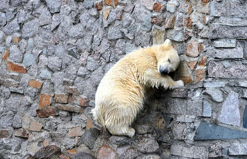 TOPSHOTS A five month old polar bear cub climbs on a wall during his its first appearance before the public in Zoo of St. Petersburg zoo on May 5, 2012. AFP PHOTO / OLGA MALTSEVAOLGA MALTSEVA/AFP/GettyImages