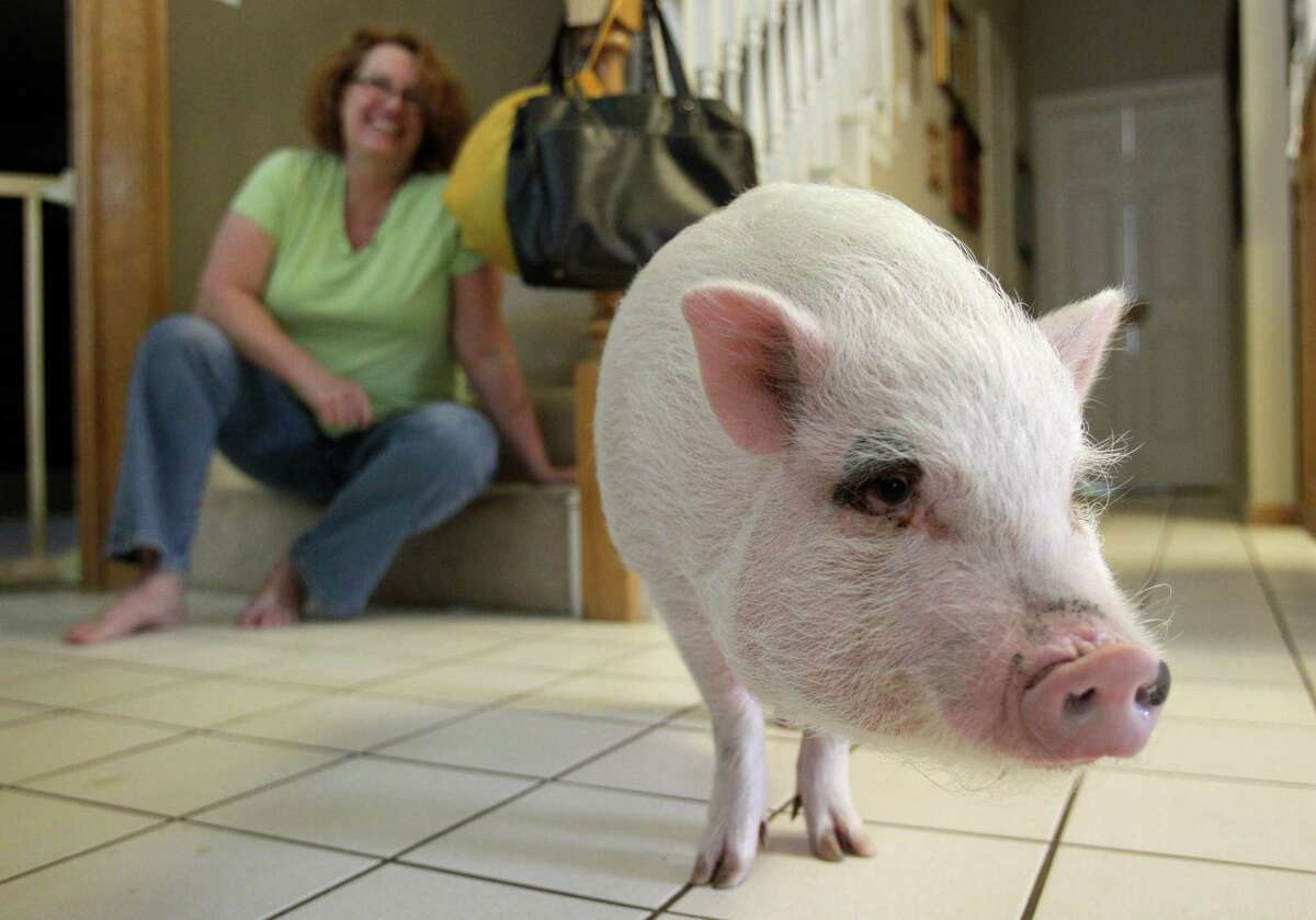 Missy Sardo watches as her family's pet, Wilbur, a Vietnamese pot-bellied pig, hangs out in the kitchen of his family's home Monday in Spring. A Harris County district court judge ruled Monday that Wilbur can stay at his family's home.