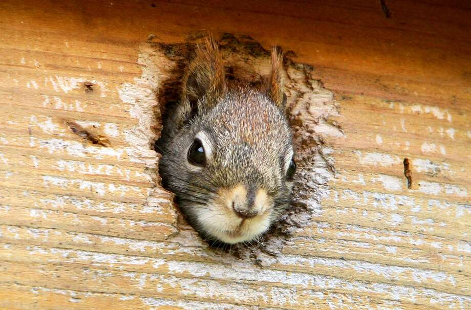 A red squirrel peeks out from a bolt-hole Friday May 4, 2012 in Brainerd, Minn. (AP Photo/ Brainerd Dispatch, Kelly Humphrey) Photo: Kelly Humphrey, Associated Press