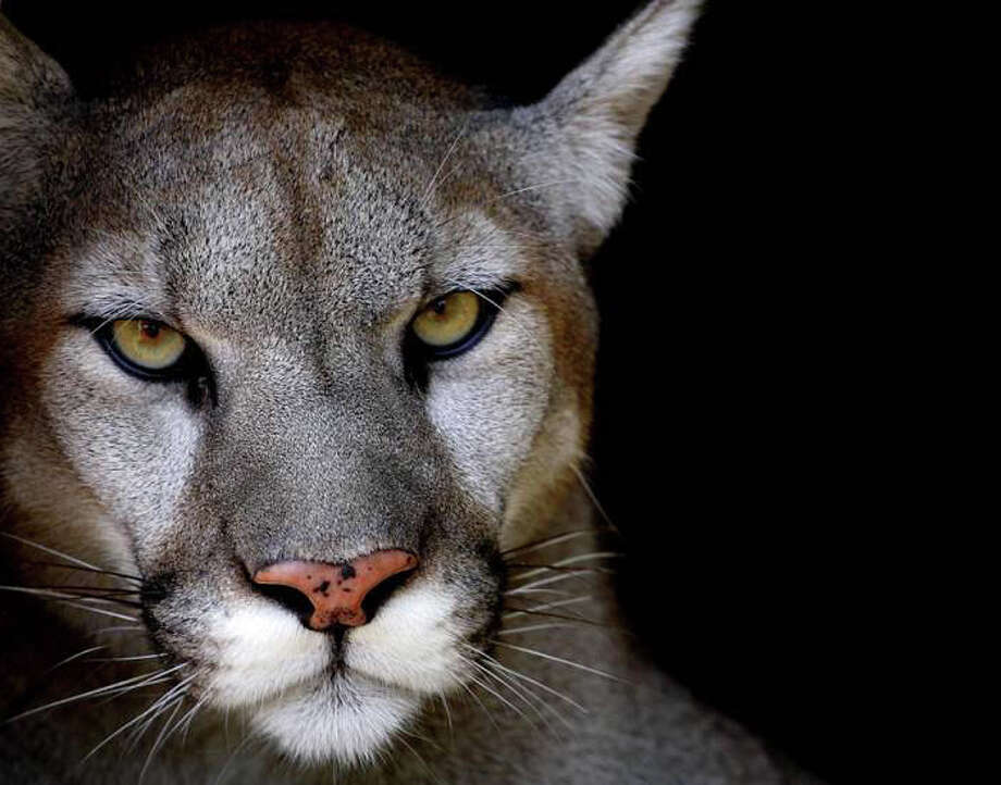 Mountain lion expert Bill Betty will present a 90-minute PowerPoint presentation on the mountain lion and its presence in Connecticut on Friday, May 11, from 7 to 9 p.m. at the Darien Nature Center. Photo: Contributed Photo