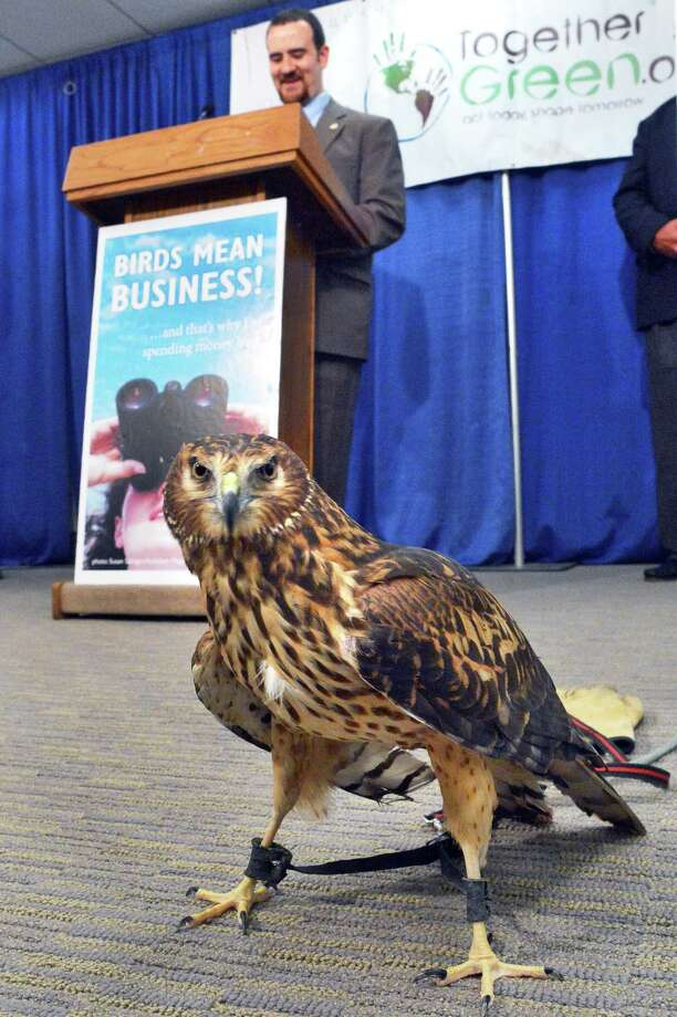 A Northern Harrier steals the show as Sean Mahar of Audubon New York, announces their ?Birds Mean Business? campaign, to highlight economic potential of bird watching to businesses and local governments at the Capitol Wednesday May 9, 2012. Photo: John Carl D'Annibale / 00017612A