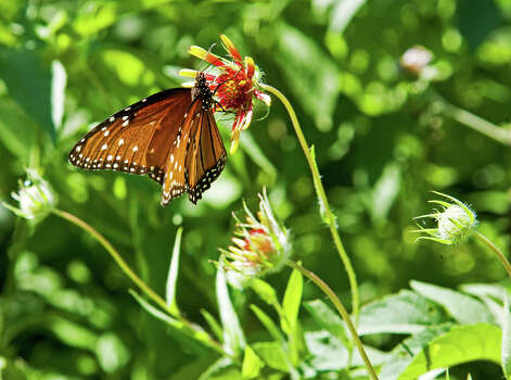A butterfly sips nectar from one of the thousands of wildflowers blooming after spring rains at Government Canyon State Natural Area. Photo: JOHN GOODSPEED, SPECIAL TO THE EXPRESS-NEWS / SAN ANTONIO EXPRESS-NEWS