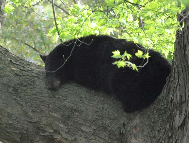 A bear which was shot with a tranquilizer gun rest on a branch in a tree near North College St. in the Stockade Thursday, May 10, 2012 in Schenectady, N.Y. (Lori Van Buren / Times Union) Photo: Lori Van Buren