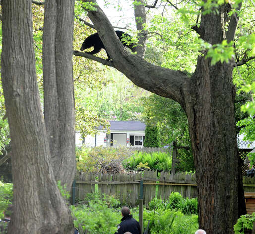A bear which was shot with a tranquilizer gun walks on a branch in a tree near North College St. in the Stockade Thursday, May 10, 2012 in Schenectady, N.Y. (Lori Van Buren / Times Union) Photo: Lori Van Buren