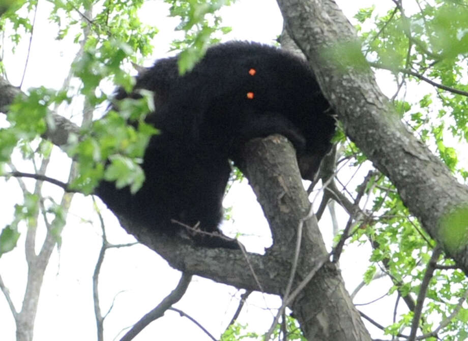 A bear which was shot with a tranquilizer gun tries to hold on in a tree near North College St. in the Stockade Thursday, May 10, 2012 in Schenectady, N.Y. (Lori Van Buren / Times Union) Photo: Lori Van Buren