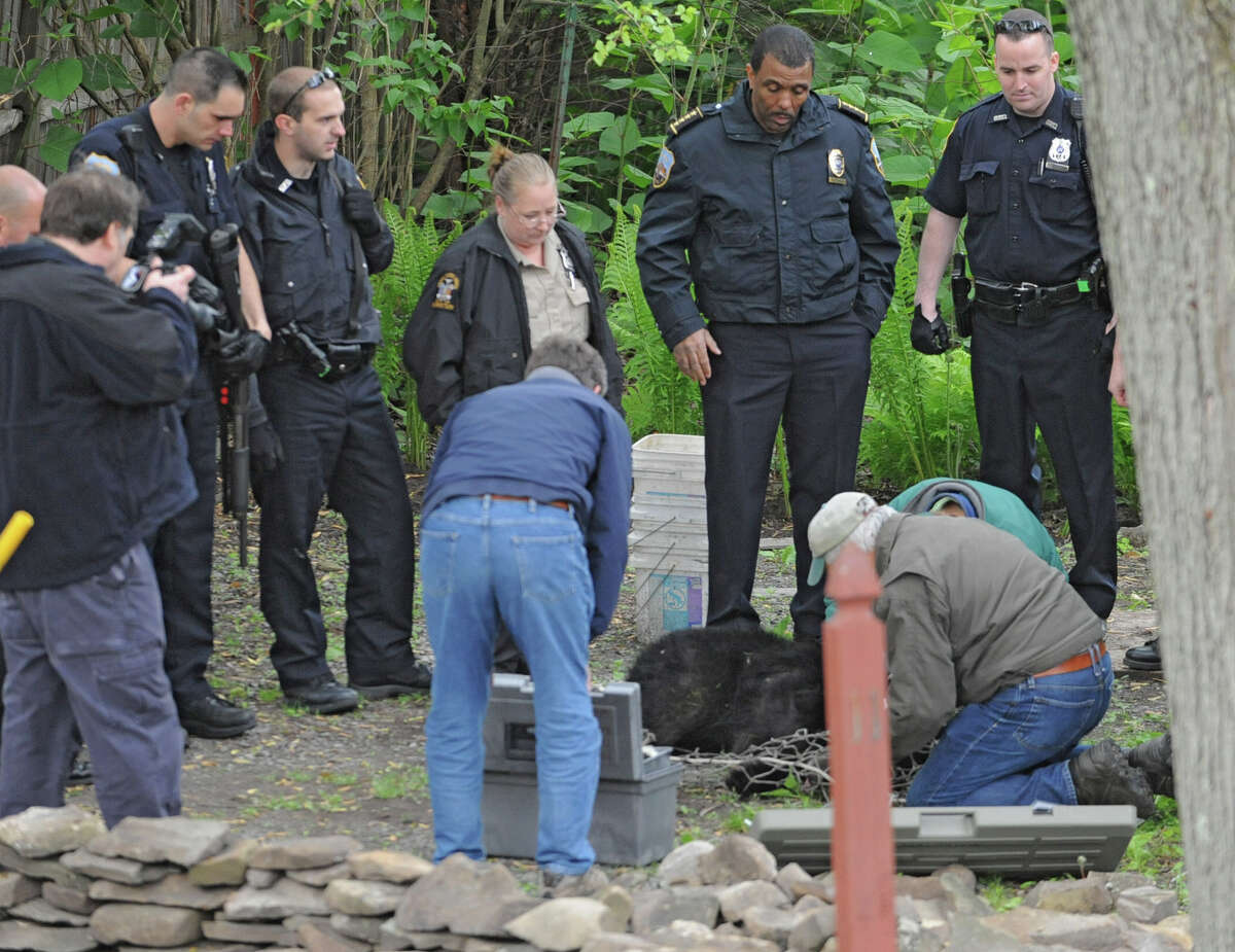 In this archive photo, officials tend to a bear which was just shot with a tranquilizer gun and fell out of a tree near North College St. in the Stockade Thursday, May 10, 2012 in Schenectady, N.Y. (Lori Van Buren / Times Union)