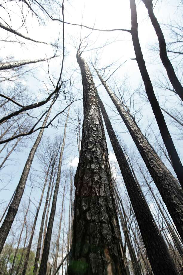 Charred trees loom off Riley Road in Magnolia, where officials fear a repeat of last year's fires. Photo: Mayra Beltran / Houston Chronicle