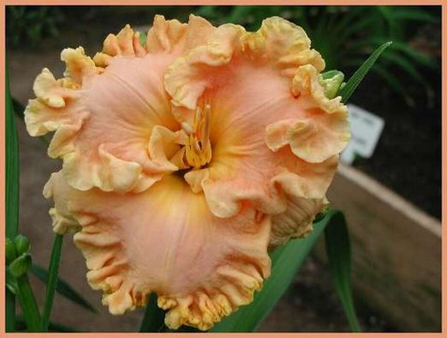 'How Beautiful Heaven Must Be'  DAYLILY / handout