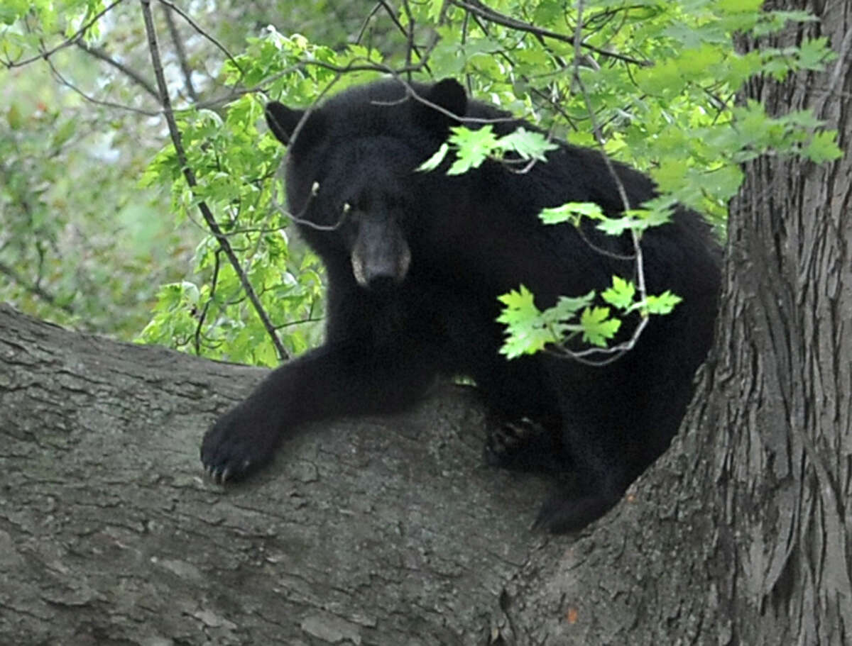 A bear which was shot with a tranquilizer gun rests on a branch in a tree near North College St. in the Stockade Thursday, May 10, 2012 in Schenectady, N.Y. The bear created quite a stir in the neighorhood, drawing a crowd of residents, media and animal rights activists. DEC officials hit the bear with three tranquilizer darts. Eventually, the bear began to stagger and the branch made cracking sounds. The animal slid off its narrow perch and hung for a minute by just its front paws. The cameras clicked as it dropped head first and hit James Tan's backyard with a thud. The bear was motionless as officers trained their weapons on it and a DEC official threw a net over it. The animal was checked and then carried into the trap. The bear is expected to survive, DEC spokeswoman Lisa King said. It was taken to a Delaware County facility and will be monitored until it can be released back into the wild. (Lori Van Buren / Times Union)