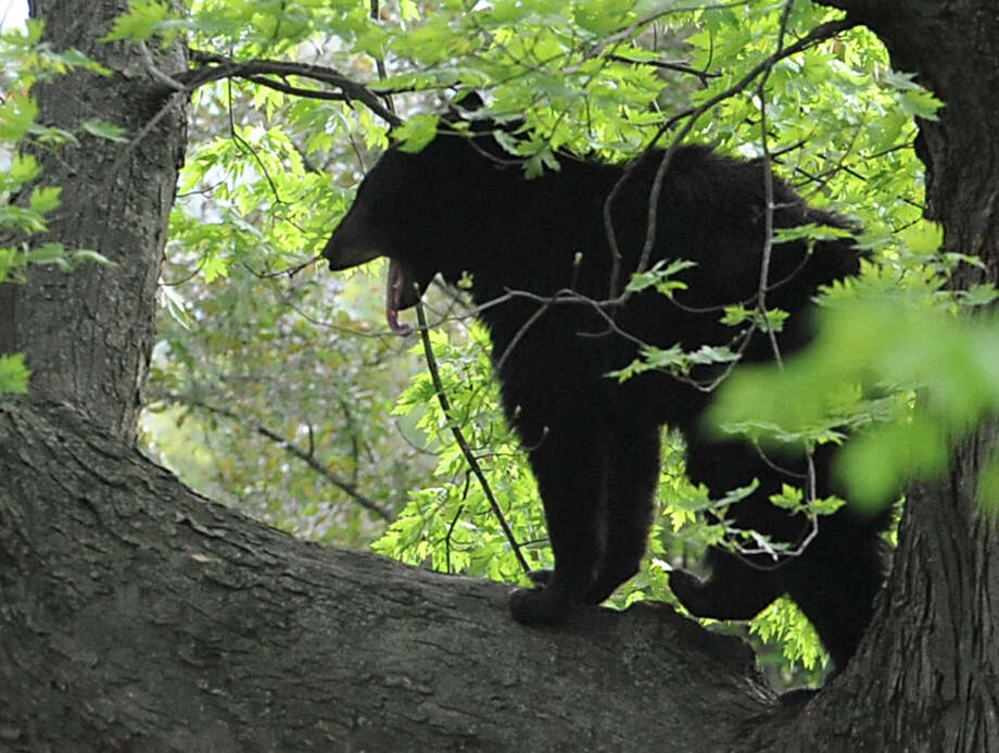 A bear which was shot with a tranquilizer gun yawns while walking on a branch in a tree near North College St. in the Stockade Thursday, May 10, 2012 in Schenectady, N.Y. (Lori Van Buren / Times Union) Photo: Lori Van Buren