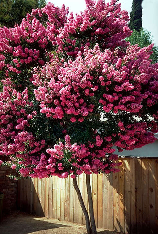 Choose a crape myrtle for its size as well as its color.