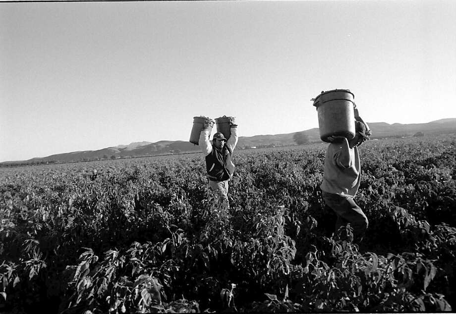 In the early morning, migrant workers from Mexico harvest green chili in Hatch, New Mexico. Photo: Dorie Hagler