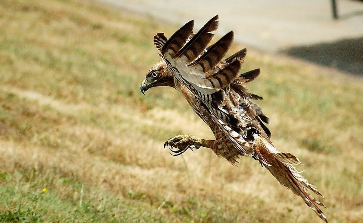 A red-tailed hawk pounces on a rodent.