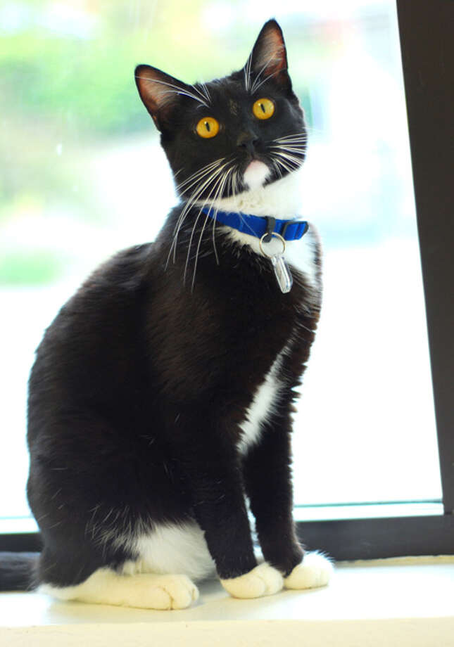 Name: Yarrow, Breed: Domestic Shorthair, Sex: Male, Age: 2 years,  Adoption Status: Available, Website: http://l.paws.org/ubth58