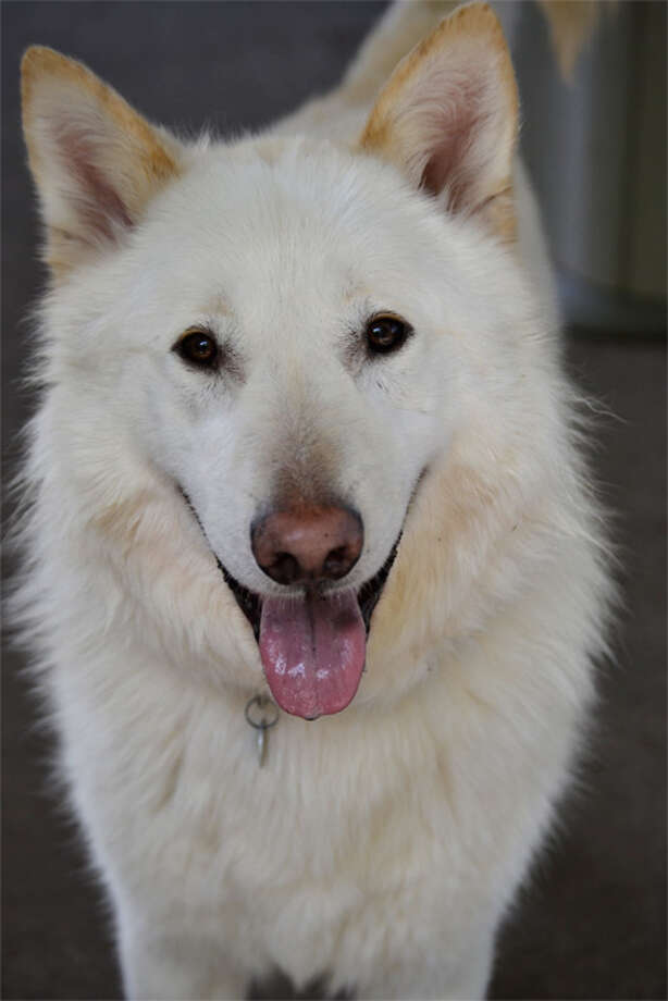 Name: Lenny, Breed: German Shepherd/Siberian Husky, Sex: Male, Age: 5 years old, Adoption Status: Available, Website: http://l.paws.org/ubth58  Photo: paws.org Photo: PAWS