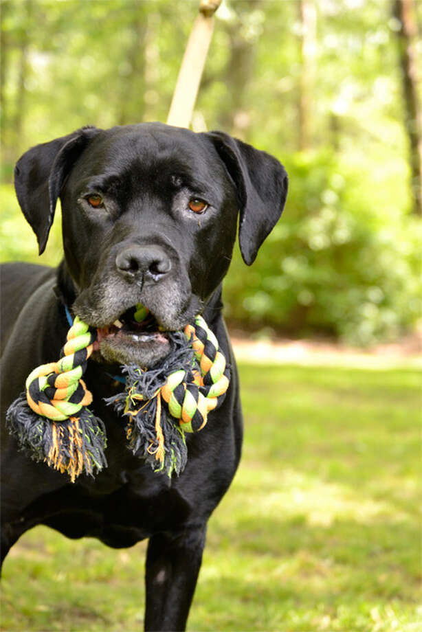 Name:Eddie, Breed: Mastiff mix, Sex: Male, Age: 5 years, Adoption Status: Available, Website: http://l.paws.org/ubth58 Photo: paws.org Photo: PAWS