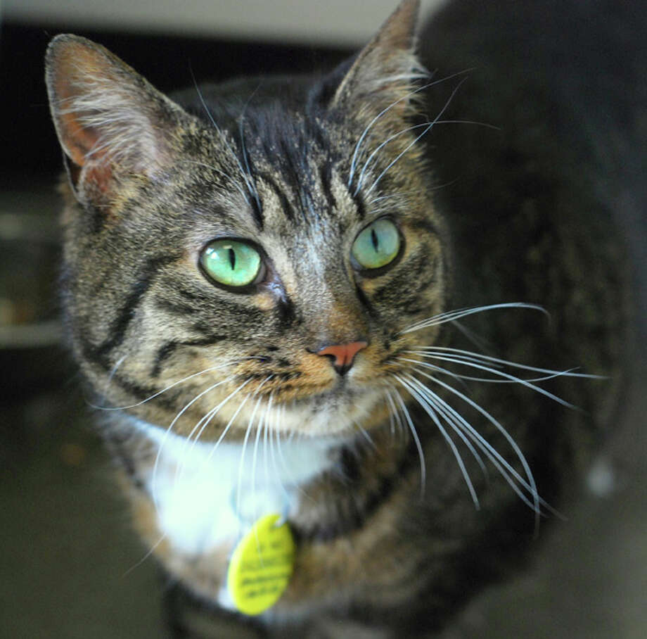 Name:Tiger-Lily, Breed: Brown/Black Tabby, Sex: Female, Age: 6 years, Adoption Status: Available, Website: http://l.paws.org/ubth58Photo: paws.org Photo: PAWS