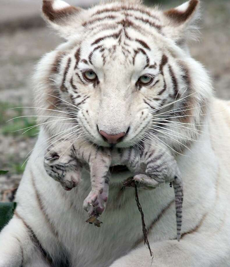 In this handout photo provided by Skazka Zoo, taken May 6, 2012, a female white albino tiger, Tigrylia  is seen with her newborn cub at  the Skazka Zoo in Yalta, Ukraine.  Tiger gave birth to four cubs, including a rare albino tiger. A beautiful white tigress was the symbol of Yulia Tymoshenko's presidential election campaign, representing her ferocious resolve. (AP Photo/Skazka Zoo) Photo: Uncredited, Associated Press