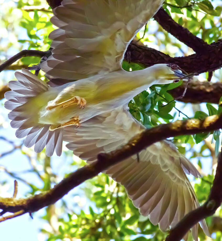 Rice adjunct professor Robert Flatt took up photography after he was diagnosed with Parkinson's disease 12 years ago. Currently, heÕs shooting Black-crowned and Yellow-crowned Night Herons living in the oaks along West Boulevard near Rice University. Photo: Robert Flatt