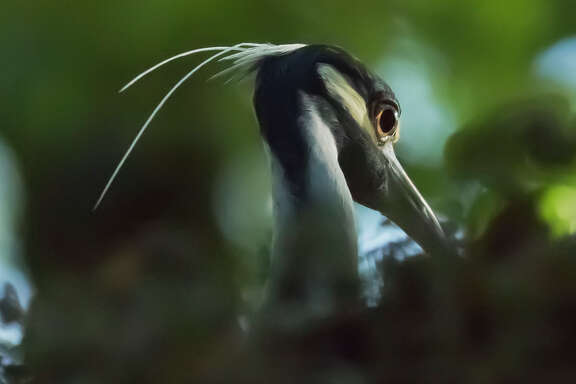 Rice adjunct professor Robert Flatt took up photography after he was diagnosed with Parkinson's disease 12 years ago. Currently, heÕs shooting Black-crowned and Yellow-crowned Night Herons living in the oaks along West Boulevard near Rice University.