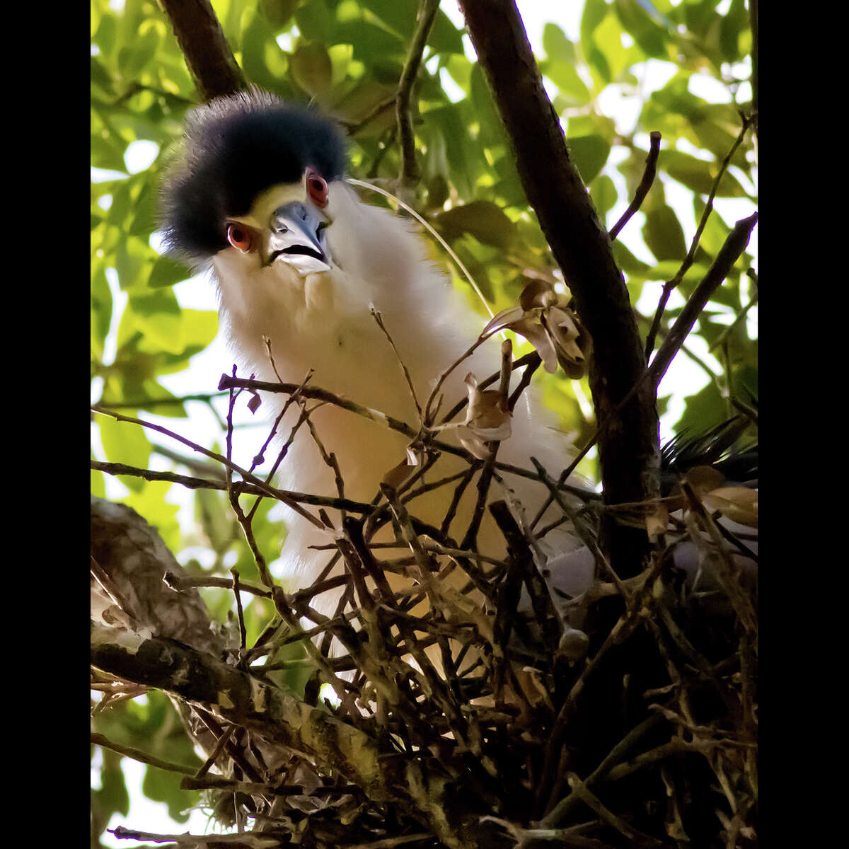 A Black-crowned Night-Heron peers from its nest in an oak tree in the Boulevard Oaks subdivision north of Rice University. See a slide-show of photos by Robert Flatt at chron.com and with our iPad app.
