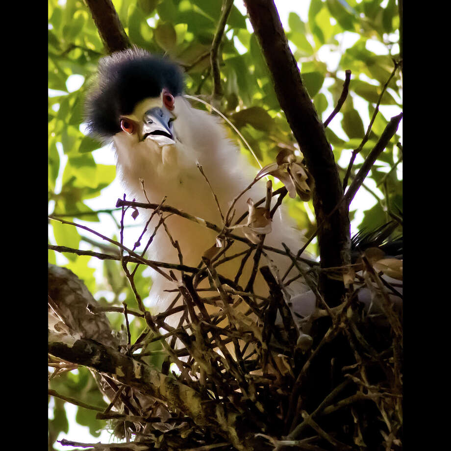 A Black-crowned Night-Heron peers from its nest in  an oak tree in the Boulevard Oaks subdivision north of Rice University. See a slide-show of photos by Robert Flatt at chron.com and with our iPad app. Photo: Robert Flatt