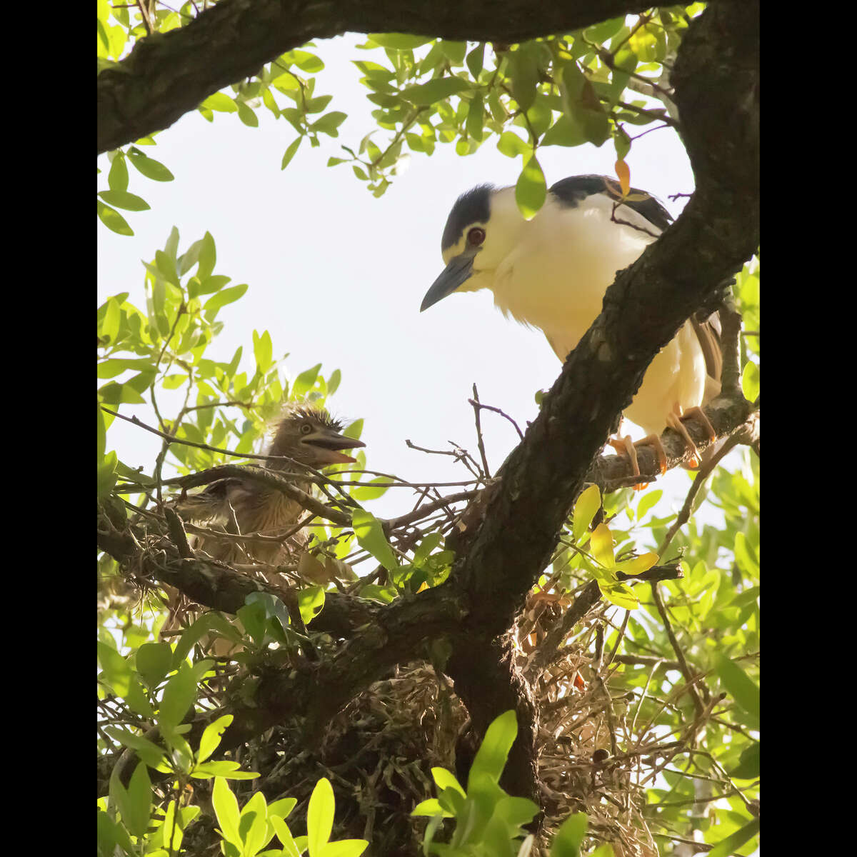 A Black-crowned Night-Heron looks after a youngster in a nest in the Boulevard Oaks subdivision north of Rice University.