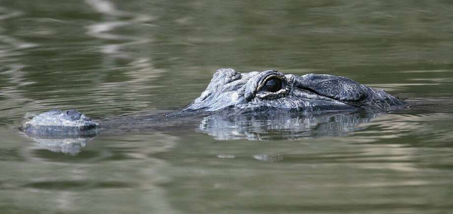 While they may look menacing, alligators seldom show aggressiveness toward humans. But that doesn't mean the reptiles don't deserve respect. Photo: Shannon Tompkins