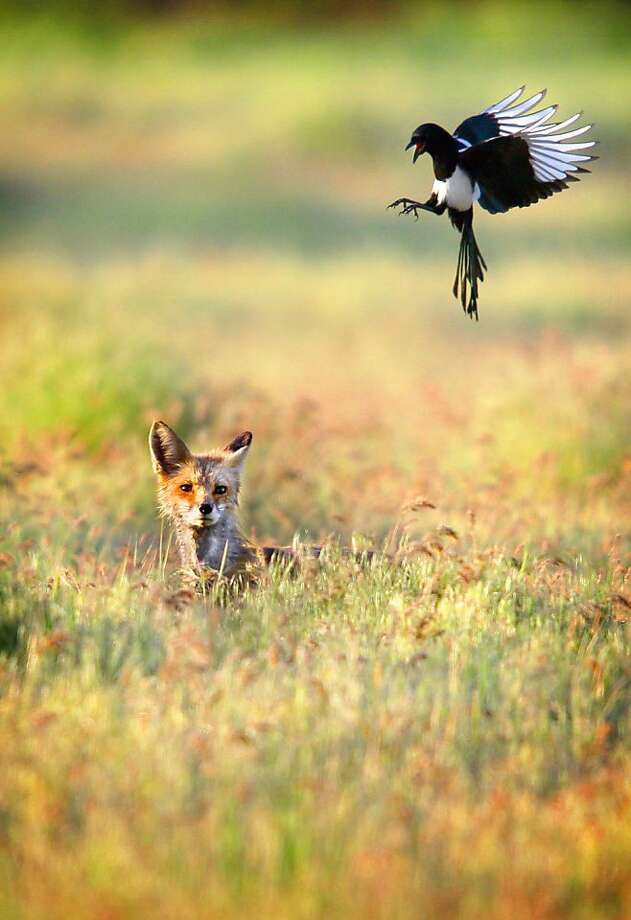 'Pie in the sky: A magpie dive-bombs a red fox that ventured into its territory in Walla Walla, Wash. Photo: Jeff Horner, Associated Press
