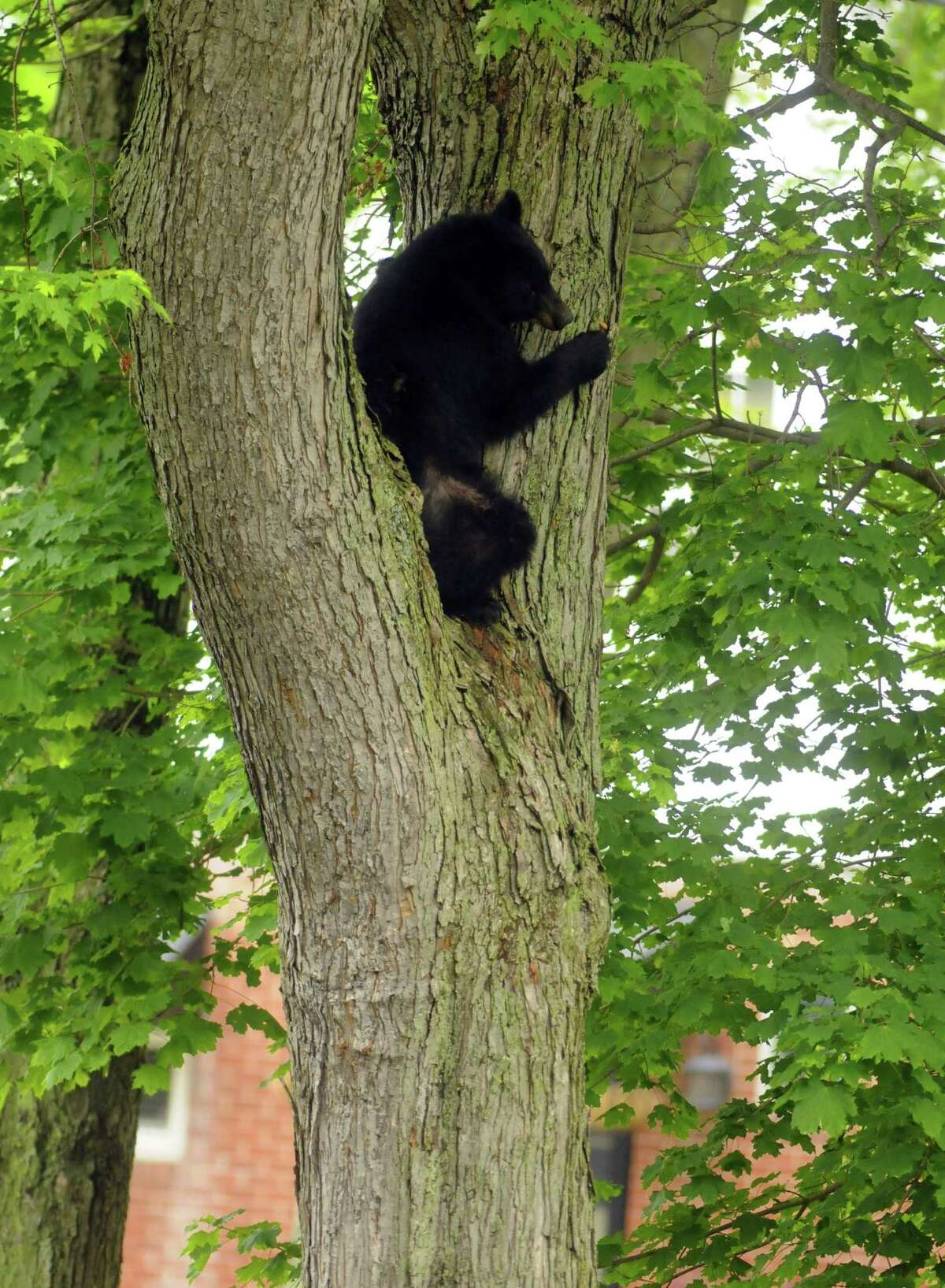 A bear sits perched in a tree between napping high in a tree of a yard off Meadow Drive in North Greenbush N.Y. Tuesday May 15, 2012. (Michael P. Farrell/Times Union)