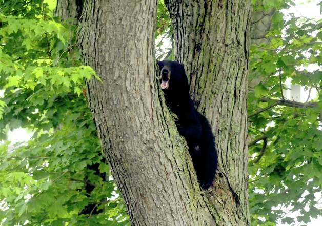 A bear sits perched in a tree between napping high in a tree of a yard off Meadow Drive in North Greenbush N.Y. Tuesday May 15, 2012. (Michael P. Farrell/Times Union) Photo: Michael P. Farrell