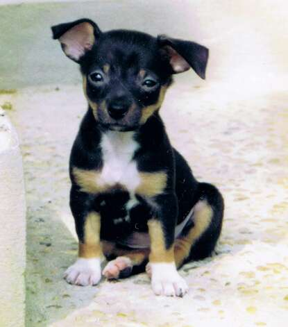 "THEN: Marty Reep's ""Cujo,"" 2 months, May 1995. She is a chihuahua / rat terrier mix. Photo: Courtesy"