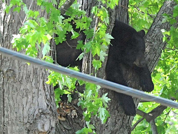 A bear rest on a branch before being tranquilized with two darts and falling to the ground Wednesday, May 16, 2012 on Meadow Drive in North Greenbush, N.Y.  (Lori Van Buren / Times Union) Photo: Lori Van Buren