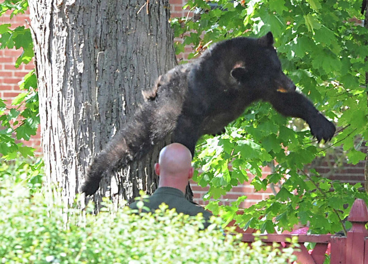 A bear falls out of a tree after being tranquilized with two darts Wednesday, May 16, 2012 on Meadow Drive in North Greenbush, N.Y. (Lori Van Buren / Times Union)