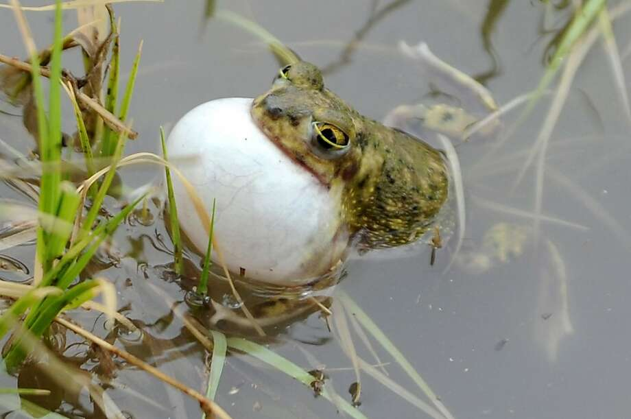 YES, I CAN SWALLOW THIS EGG! Before any angry herpetologists write in, we'd like to clarify that the frog is actually croaking, not feeding, in a flooded area in north Odessa, Texas. Photo: Mark Sterkel, Associated Press