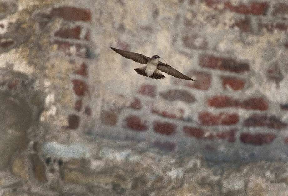 A northern rough-winged swallow, not a famed cliff swallow, takes flight at the Great Stone Church ruins. Photo: Allen J. Schaben, McClatchy-Tribune News Service