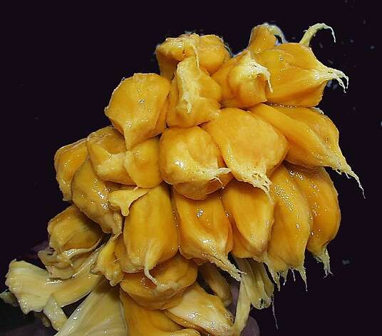 Both the seeds and the pulp of the jackfruit, which can grow to up to 100 pounds per fruit, are edible. Photo: Ken Love