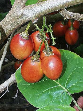 Also known as the tree tomato, the tamarillo can be used as a substitute for tomatoes in salads or spicy sauces, or be sweetened as a dessert. Photo: Ken Love