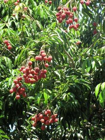 Thought to be one of the world's oldest cultivated fruits, lychee reached the Hawaiian Islands in 1873. Photo: Forest & Kim Starr, Www.hear.org
