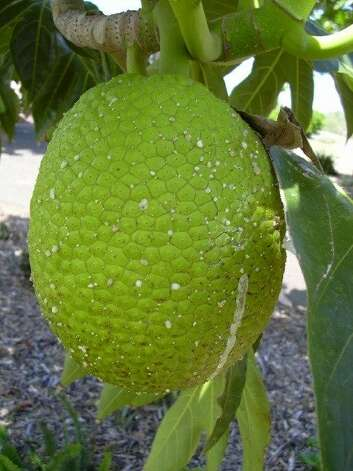 Polynesian voyagers brought breadfruit, seen here at Maui Nui Botanical Garden, to Hawaii, where their descendants continued to cultivate it as a food staple for many generations. Photo: Forest & Kim Starr, Www.hear.org