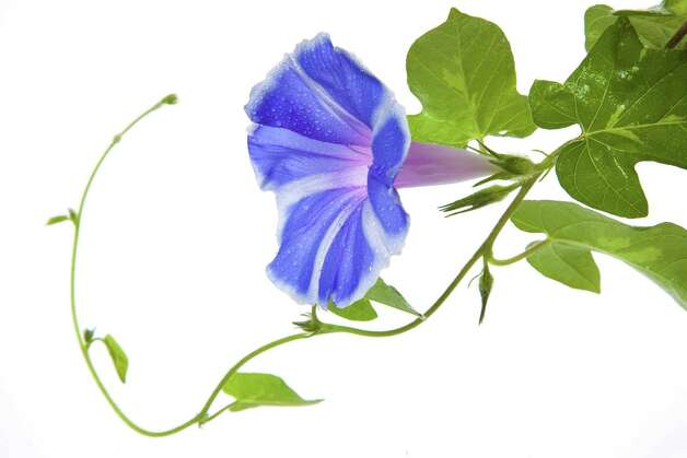 Morning glory vine (Fotolia.com) / 34142041