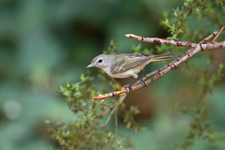 Songs of birds such as the Bell's vireo ring out along the trails at Enchanted Rock State Natural Area this spring. Photo: Kathy Adams Clark / Kathy Adams Clark/KAC Productions