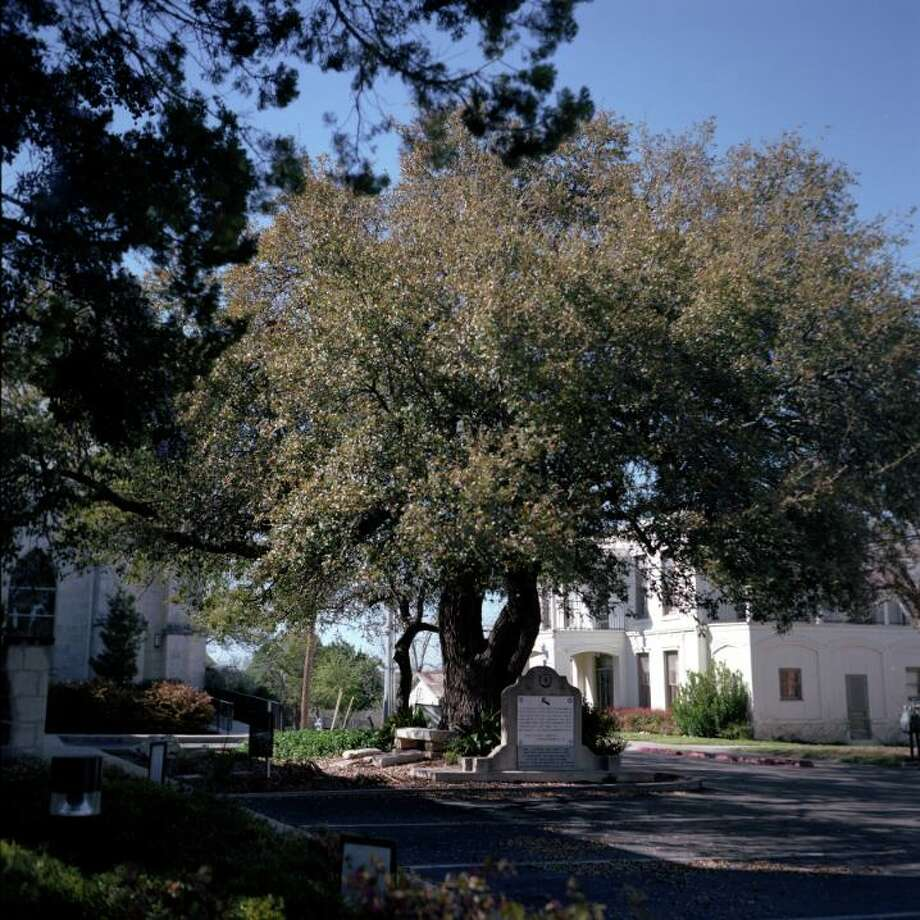 """The Church Oak, outside Sts. Peter and Paul Catholic Church in New Braunfels, is said to be where the first German missionaries set up in an Indian village. The Comanches spared the life of the missionary at the request of the chief's daughter, according to legend. The Church Oak is among the trees included in """"Living Witness: Historic Trees of Texas"""" by Ralph Yznaga. Photo: Ralph Yznaga"""