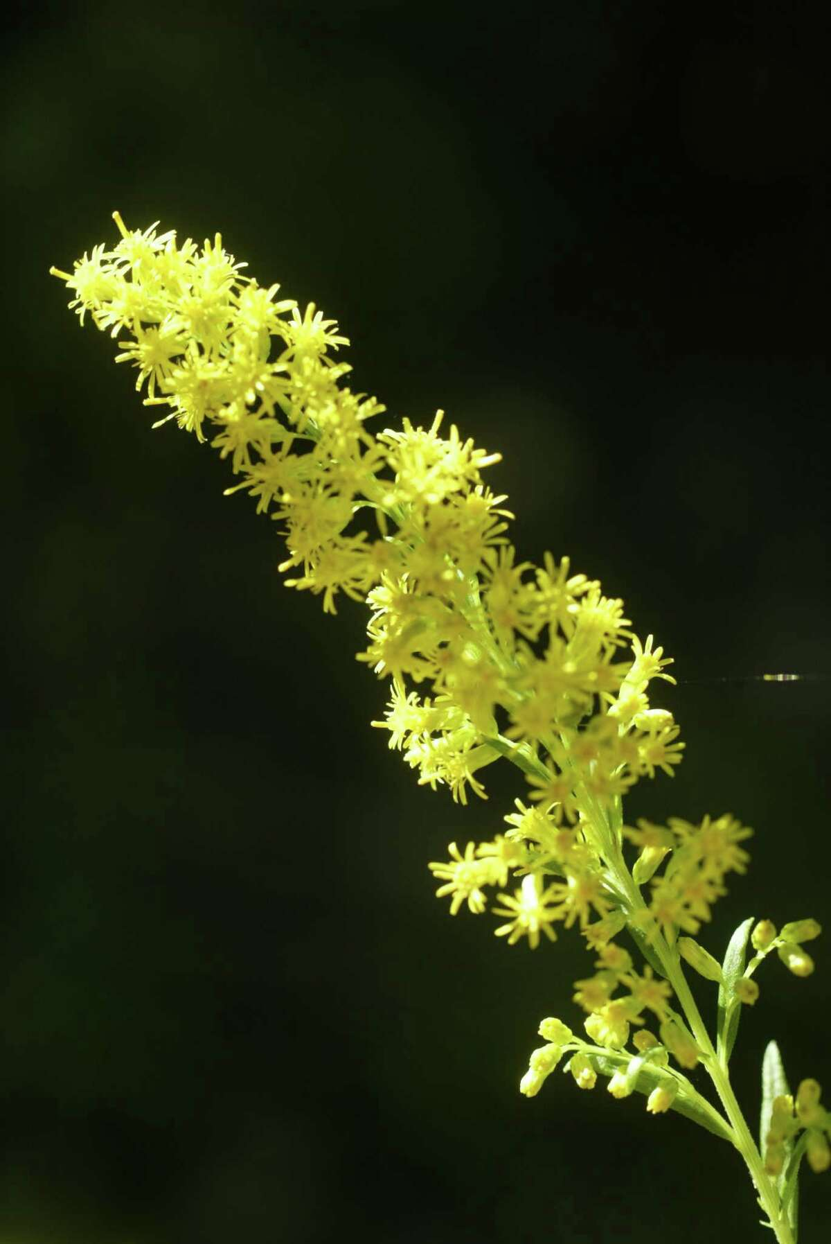 Goldenrod blooms are a favorite of butterflies.